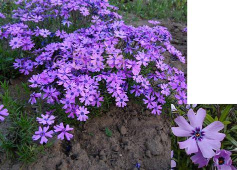 Ziemcietes - Floksis aslapu 'Purple Beauty' / Stādu ...