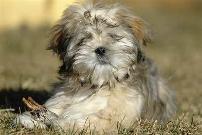 Apso Lhasa Puppy Dogs Puppies Terrier Dog