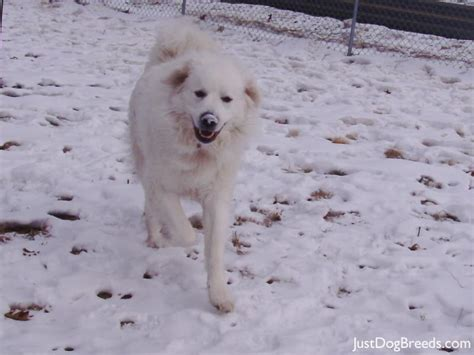great pyrenees excessive shedding great pyrenees shedding breeds picture