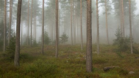 File:Fog in a forest, Telemark 2.jpg - Wikimedia Commons