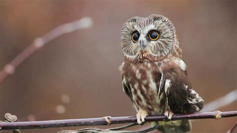 northern  whet owl  cute  vimeo