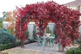menanam tanaman hias merambat pagar rumah merawatbunga