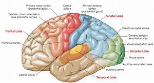 4  The Cerebral Cortex Is Morphologically Divided Into