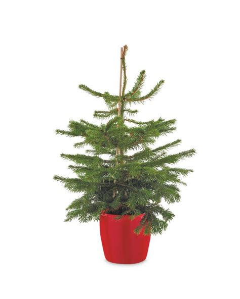 real christmas trees glasgow how you can get a real 6ft christmas tree for less than 163 4259