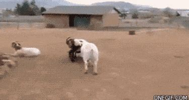 farm animals gifs find share  giphy