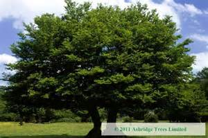 buy hornbeam trees carpinus betulus large standards for sale