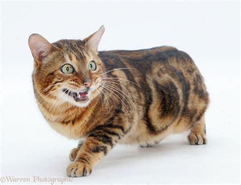 Furtive Bengal cat photo WP13700
