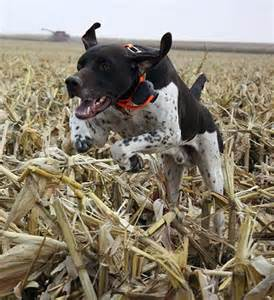 german shorthaired pointer pointers and hunters on pinterest