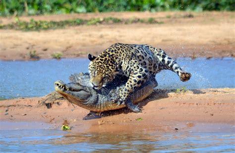 Jaguar Vs Caiman by Jaguar Attacks Caiman