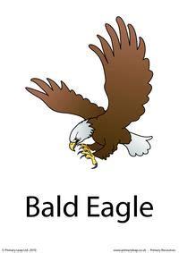 bald eagle flashcard