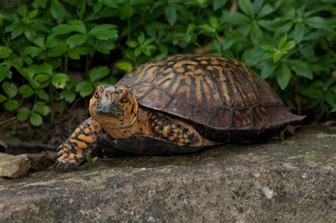 box turtle eastern box turtle images femalecelebrity