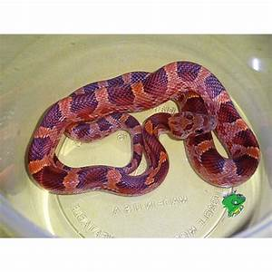 Hypo Blood Red Corn Snake - juveniles - Strictly Reptiles
