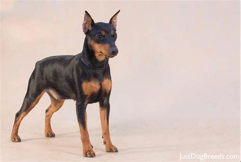 miniature pinscher information and pictures breed info breeds picture
