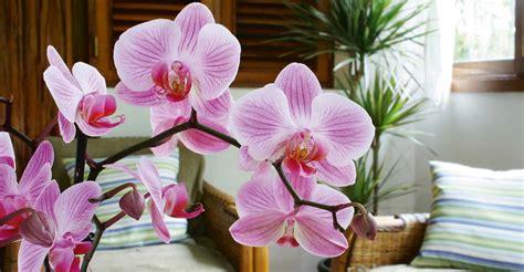 how to get phalaenopsis to bloom 7 tips to keep phalaenopsis orchids blooming my garden life