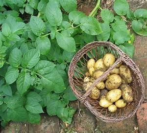 Période Pour Planter Les Pommes De Terre : comment planter des pommes de terre ~ Melissatoandfro.com Idées de Décoration
