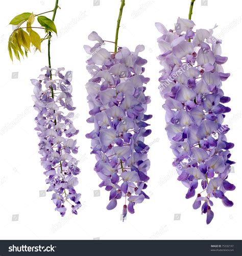 copy right free pictures of purple wisteria purple wisteria flowers isolated on white background stock photo 75332197