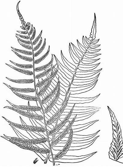 Ferns Fern Leaf Drawing 7th Ed Know
