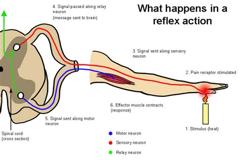 Diagram A Reflex Arc by The Reflex Is Fast But Does Not Use The Brain