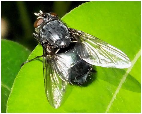 insectes de coudouli 232 re la mouche 224 viande
