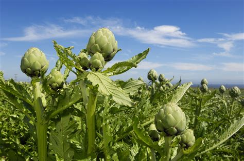 Baby Artichokes What Are They Anyway? Huffpost