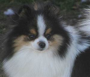Black And Tan Parti Pomeranian 56462 | VIZUALIZE