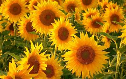 Sunflower Sunflowers Wallpapers Resolution Background Backgrounds Flowers