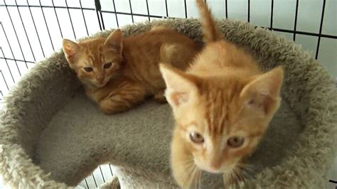 feral orange tabby kittens youtube