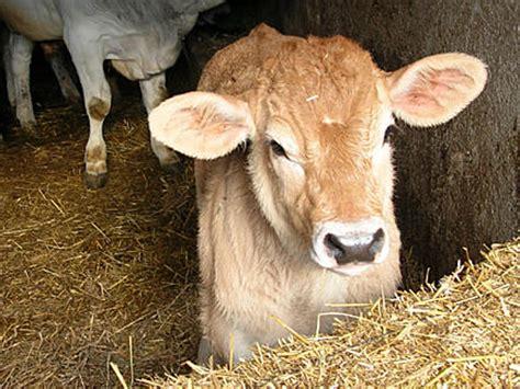 carne  manzo  vitello tagli  usi  cucina