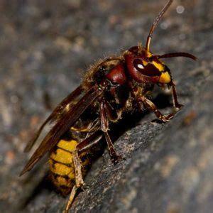 bald faced hornets pioneer pest management pest