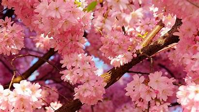 Spring Cherry Blossoms Wallpapers Backgrounds Landscape