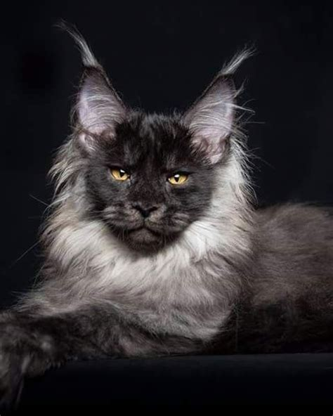 do maine coon cats shed their mane 17 best ideas about maine coon cats on maine