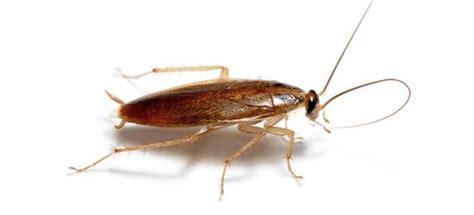 blatte de cuisine piège écologique pour cafards et blattes remèdes de