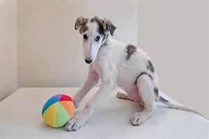 Borzoi Puppies for Sale   Russian Borzoi