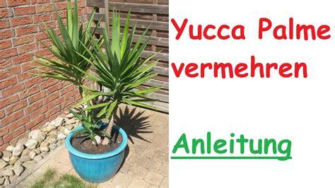 yucca palme düngen yucca palme durch steckling vermehren ableger vermehrung palme selber ziehen anleitung