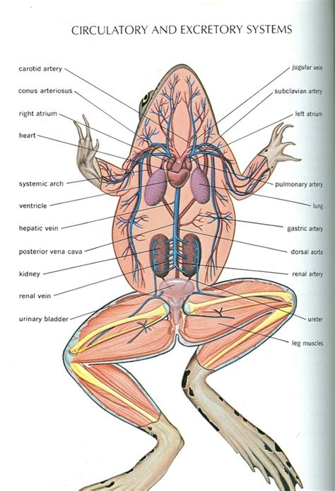 frog  human anatomy comparison ms pearrows