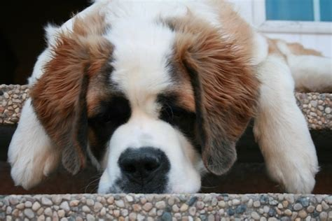 do st bernards shed all year bernard breed information and pictures