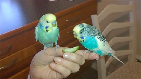 Cute Blue Love Birds