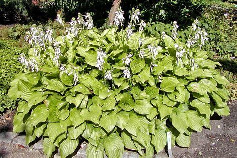 what are hostas hosta plantaginea royal standard plant lust