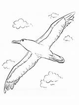 Coloring Albatross Albatros Ausmalbilder Birds Ausdrucken Malvorlagen Kostenlos Bird Zum Coloringbay Sheep Template Flying sketch template