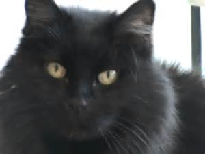 haired black cat lucille domestic hair black