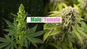 Male Vs Female Cannabis Plant And Sexing Guide
