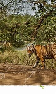 Tiger Male In A Beautiful Light In The Nature Habitat Of ...