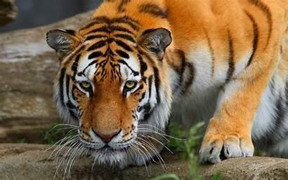 Papel Tigres Parede Compartilhe