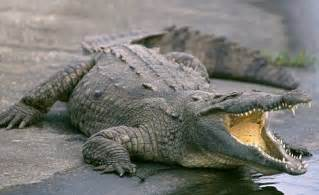 Saltwater Crocodile vs Alligator