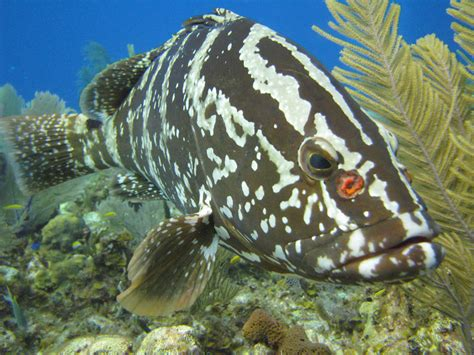 grouper nassau caribbean reef fish coral moon ncsu project reefs protecting icon cals appliedecology edu scientist fishing region threatened iconic