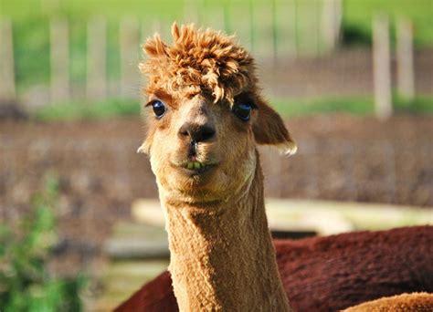 llama smiling smiling llama flickr photo sharing