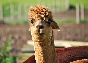 smiling llama | Flickr - Photo Sharing!