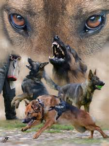 Military Working German Shepherd Dog