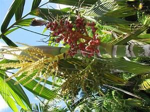 Plantfiles Pictures  Areca Species  Sacred Palm  Areca