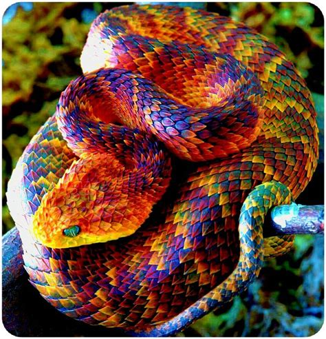 Colourful   Poisonous snakes, Beautiful snakes, Snake
